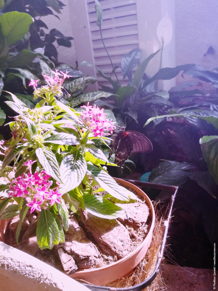 Dubai-Butterfly-Garden-9